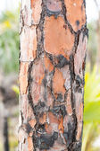 Close up of burned pine tree trunk in Florida — Stockfoto