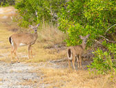 Small Key Deer in woods Florida Keys — Stock Photo
