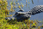 Close up of alligator in Everglades — Stock Photo