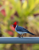 Red crested cardinal on fence in Kauai — Stockfoto