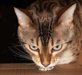 Bengal cat peering through cardboard box — Stock Photo