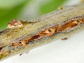 Macro image of tree damage from cicada — Foto Stock