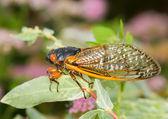 Macro image of cicada from brood II — Stock Photo