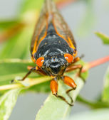 Macro image of cicada from brood II — Stock Photo