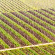 Pattern formed by rows of grape vines in vineyard Castell — Stockfoto