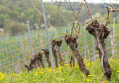 Close up of the pruned vine of grape vineyard — Stock Photo