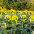 Sunflowers in early evening as sun sets — Stock Photo #28587603