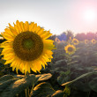 Sunflowers in early evening as sun sets — Stock Photo