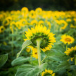 Stock Photo: Sunflowers in early evening as sun sets