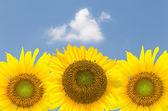 Três flores girassol contra o céu azul — Fotografia Stock