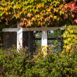 Red and green ivy surround windows on cottage — Stock Photo