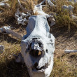 Skull of large rhino in the grass in Zimbabwe — Stock Photo