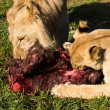 Young lions eating raw meat — Stok fotoğraf