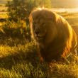 Old male lion in grass in Southern Africa — Stock Photo #34378661