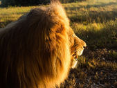 Old male lion in the grass in Southern Africa — Stock Photo