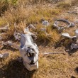 Stock Photo: Skull of large rhino in the grass in Zimbabwe