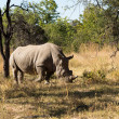 Stock Photo: Large rhino grazing the grass in Zimbabwe