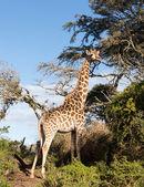 Tall african giraffe looking down at camera — Stock Photo