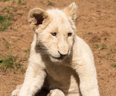 Portrait of small young lion cub Southern Africa — Stock Photo