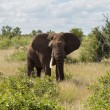 Single elephant in Kruger National park — Stock Photo