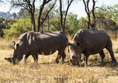 Two large rhinos grazing the grass in Zimbabwe — Stock Photo
