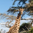 Tall african giraffe looking down at camera — Stock Photo