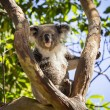 Close up of Koalbear in tree — Stock Photo #37881731