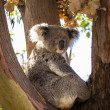 Close up of Koala bear in tree — Stock Photo