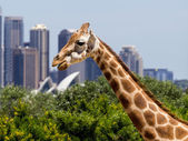 Giraffes with a fabulous view of Sydney — Foto de Stock