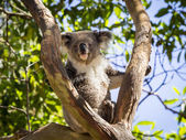 Close up of Koala bear in tree — Stock Photo