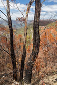 Charred trees in Blue Mountains Australia — Stock Photo