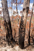 Charred trees in Blue Mountains Australia — Stock Photo