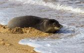 Monk Seal on Tunnels beach Kauai — Stok fotoğraf
