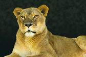 Female lion looking at camera — Stock Photo