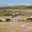 Sheep grazing on rocky land in New Zealand — Stock Photo #42161807