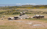 Sheep grazing on rocky land in New Zealand — Stock Photo