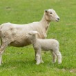 Cute lamb and mother sheep in meadow — Stock Photo #42188135