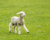Cute lamb in meadow in New Zealand — Stock Photo