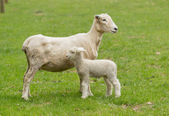 Cute lamb and mother sheep in meadow — Foto Stock