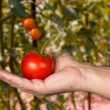 Caucasian mans hand holding large organic tomato — Stock Photo #44841941