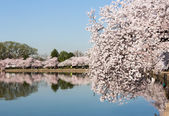 Tourists stroll by the cherry blossoms — Stock Photo