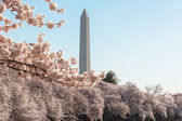 Washington Monument towers above blossoms — Stock Photo