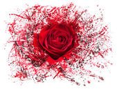Close up of red rose exploding — Stock Photo