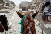 Camel and mule or horse for tourists by pyramids — Stock Photo