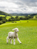 Cute lamb in meadow in wales or Yorkshire Dales — Stock Photo