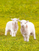 Twin baby lambs in flower meadow — Stock Photo