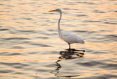 Great white egret in the sea off Tampa in Gulf — Stock Photo