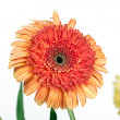 Flower on a white Gerbera — Stock Photo