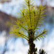 Decorative fir-tree — Stock Photo