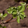 Young leaves on the branches of the Apple tree — Stock Photo